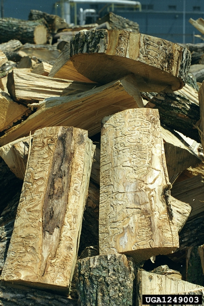 Firewood with its bark removed, showing insect feeding galleries
