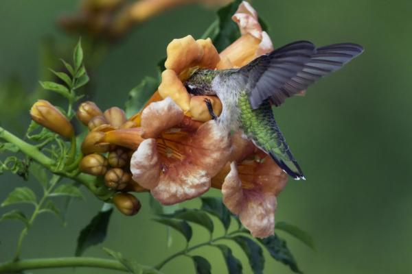 hummingbird trumpet flower