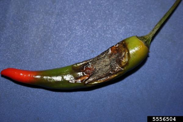 Symptomatic pepper