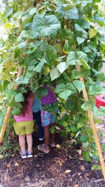 Harvesting beans from a vine-covered teepee.