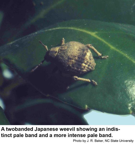 Twobanded Japanese weevil