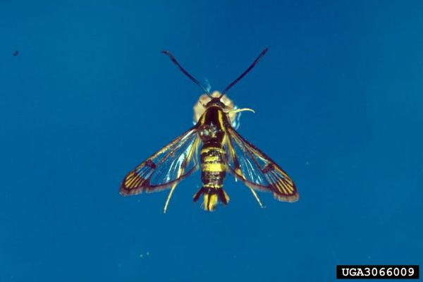 Dogwood borer adult