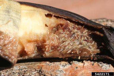 Drosophila larvae in banana
