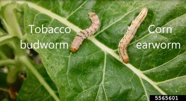 Two caterpillar larvae on a tobacco leaf.