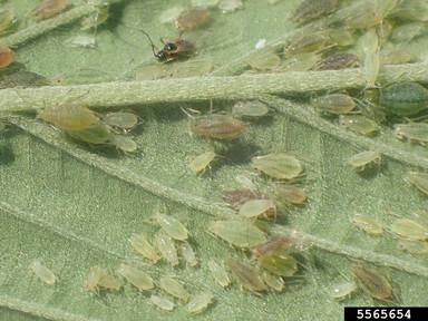 Many different aphids on a cannabis leaf