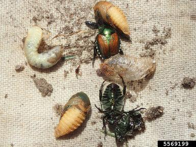 Japanese beetle adult, pupae, and grubs.