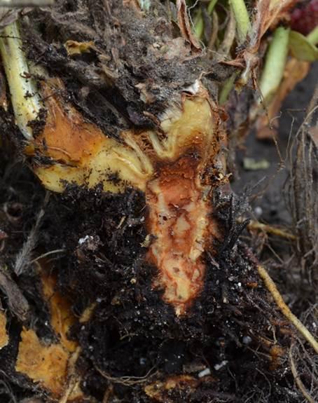 longitudinal cut of anthracnose crown rot