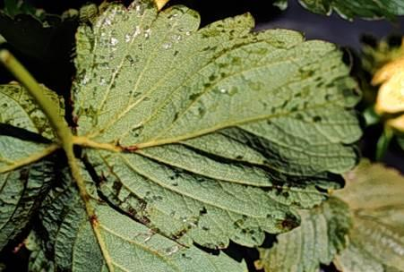 ALS leaf with angular lesions