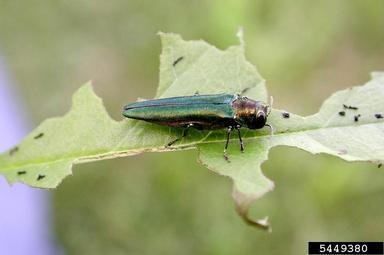 Metallic green body of adult EAB