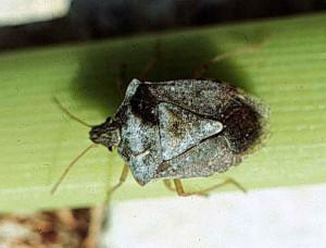 Photo of brown stink bug
