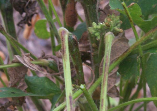 Photo of tobacco ringspot virus (TRSV) bud proliferation