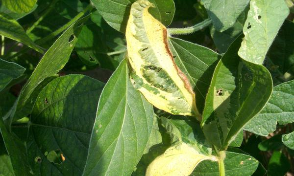 Photo of cowpea chlorotic mottle virus leaf mottle