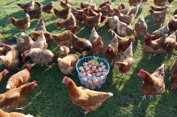 Photo of chickens and a basket of eggs.
