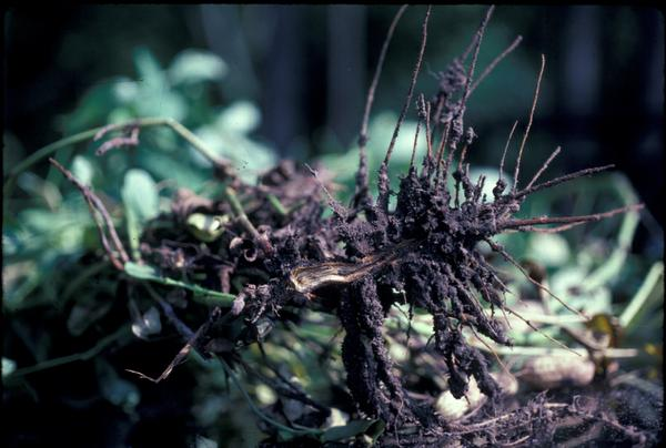 Photo of roots of plants that are blackened and brittle.
