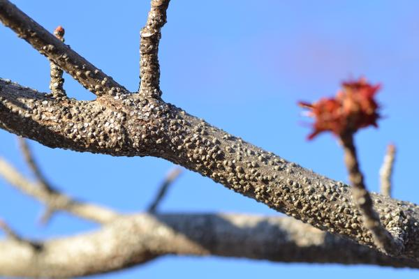 Red maple branch covered in gloomy scales
