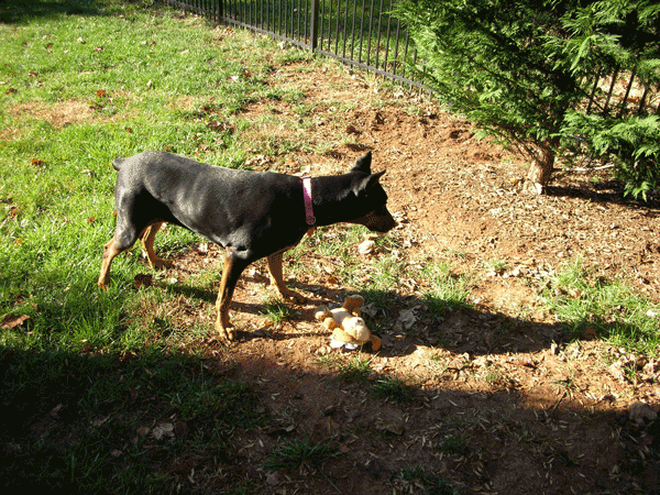 Dog with toy on bare dirt at the edge of a fenced lawn