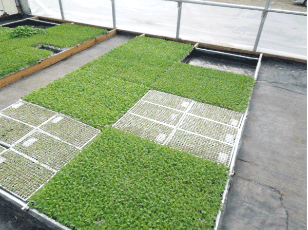 Flats of seedlings showing lush growth and little growth