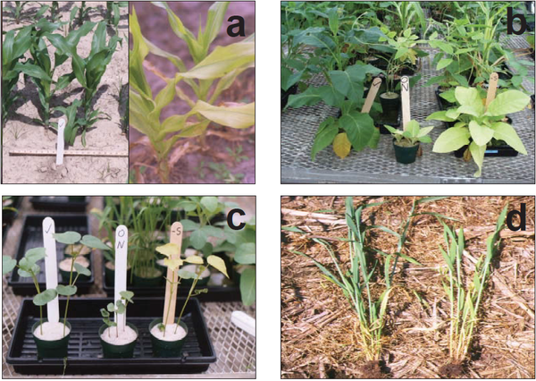 Photo of different indicators of sulfur deficiency in plants.