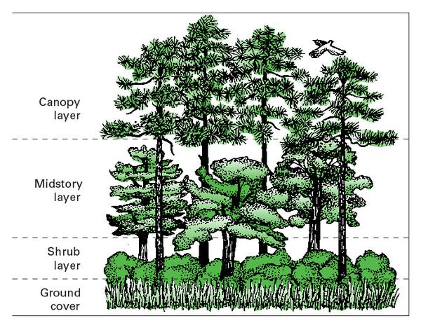 Illustration of a forest with well-developed vertical structure