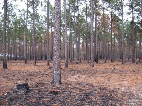 Photo of pine needles after prescribed burn