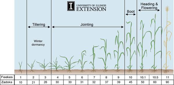 Chart showing stages of wheat from seedling to flowering