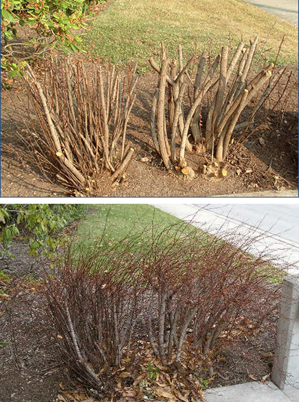 Before and after heading cuts to barberry