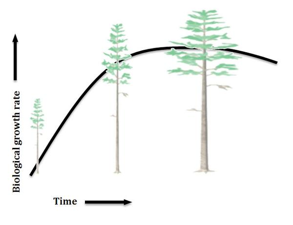 Illustration of the biological growth rate of a tree