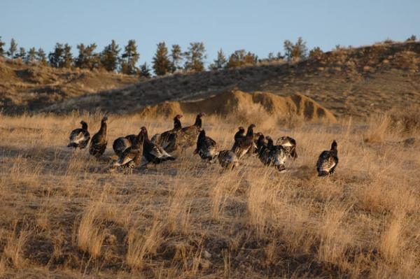 Photo of Wild turkey flock in field setting