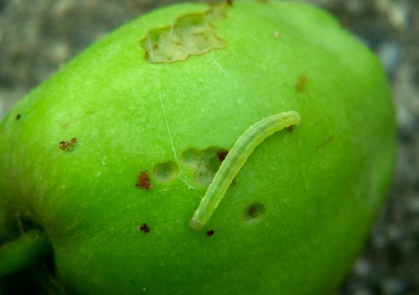 GFW on apple
