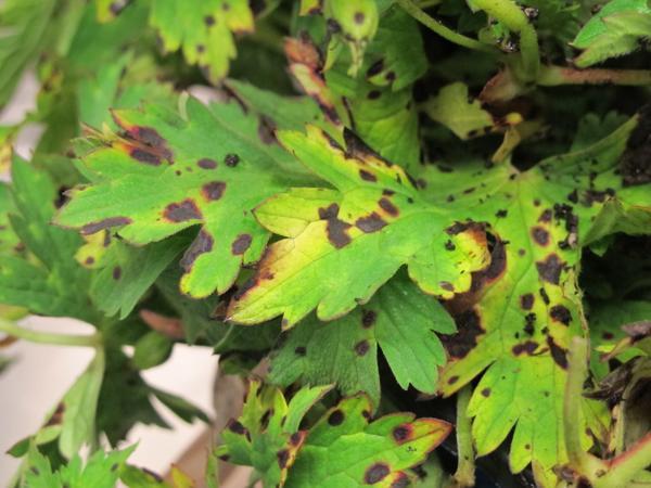 Bacterial leaf spot on geranium