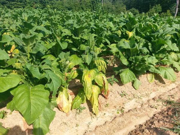 Granville wilt tobacco plant