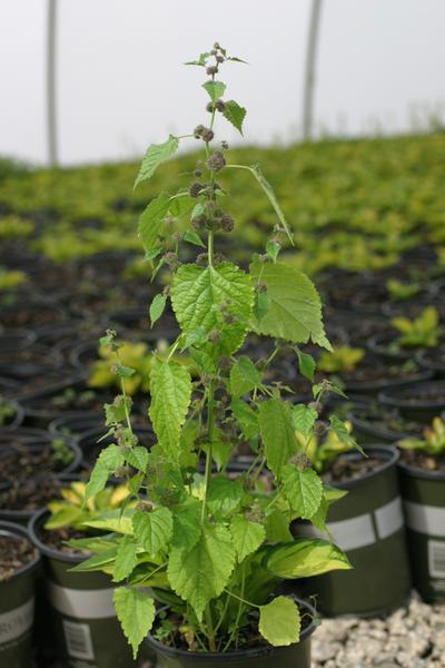 erect growth habit.  resembling a mulberry tree seedling