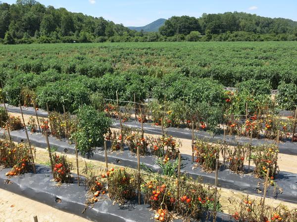 Bacterial wilt in tomato field.