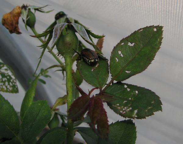 Figure 2. Rose leaf damage by Japanese beetle feeding.