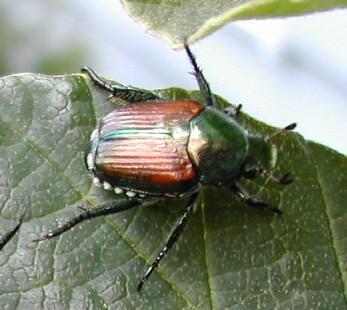 Figure 1. Japanese beetle.