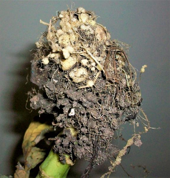 Galls on kale roots