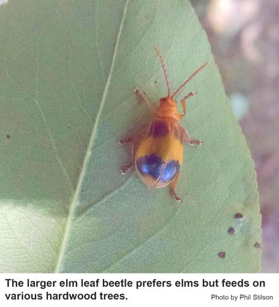 larger elm leaf beetle