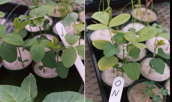 N-deficient soybean plants