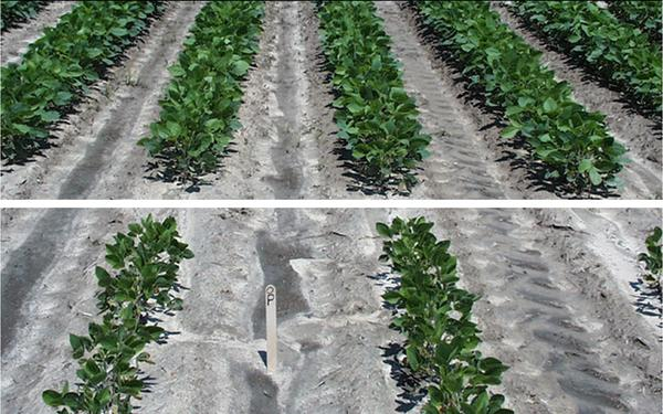 P-deficient soybean plants