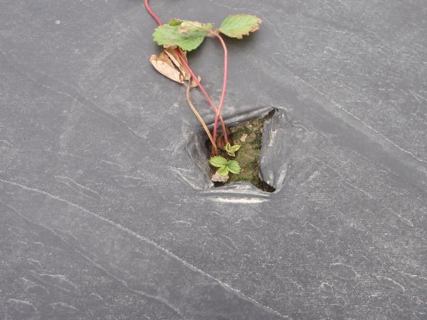 A poorly developed strawberry plant with dead outer leaves and s