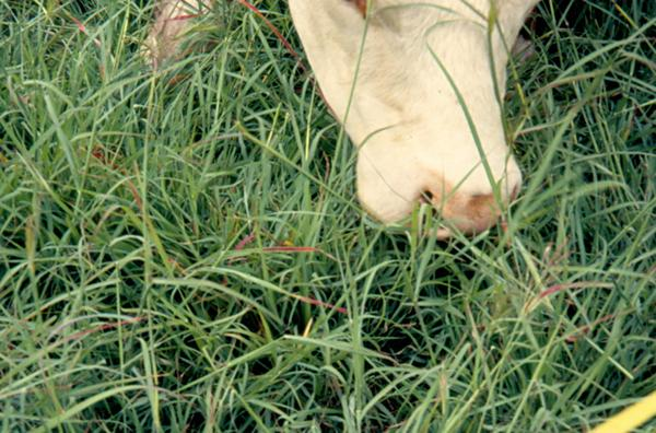 Photo of a steer grazing.
