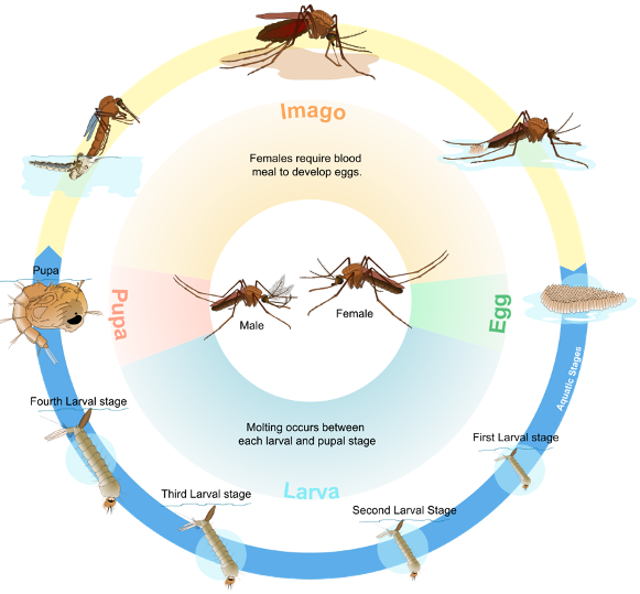 Illustration of the mosquito life cycle