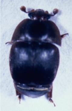 Figure 1A. Adult beetle.