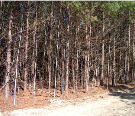 Photo of overstocked pine stand