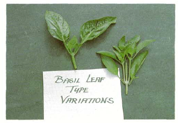 Figure 1. Two sweet basil leaf types produced out Of the same pa