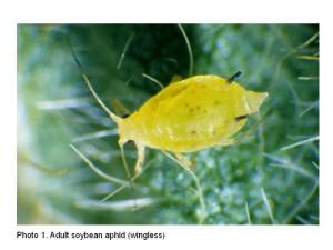 Photo of adult soybean aphid (wingless)