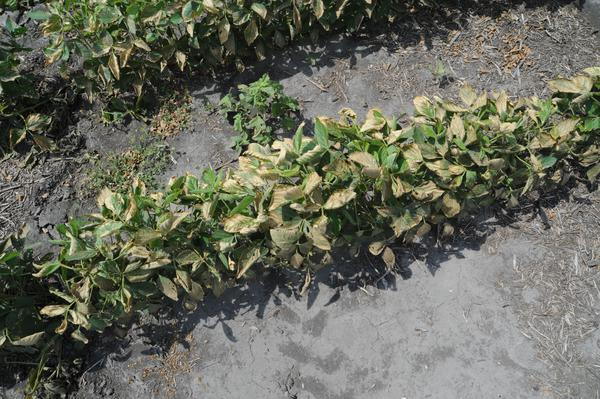 Photo of fertilizer burn in soybeans