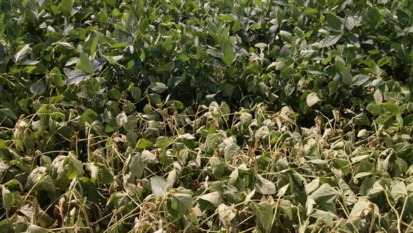 Photo stunted soybean plants