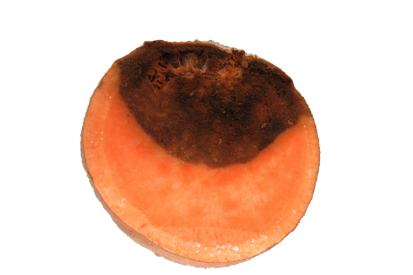 Cross-section of Fusarium root rot
