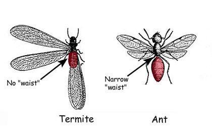 Figure 1a. Termites have no waist; ants have a narrow waist.